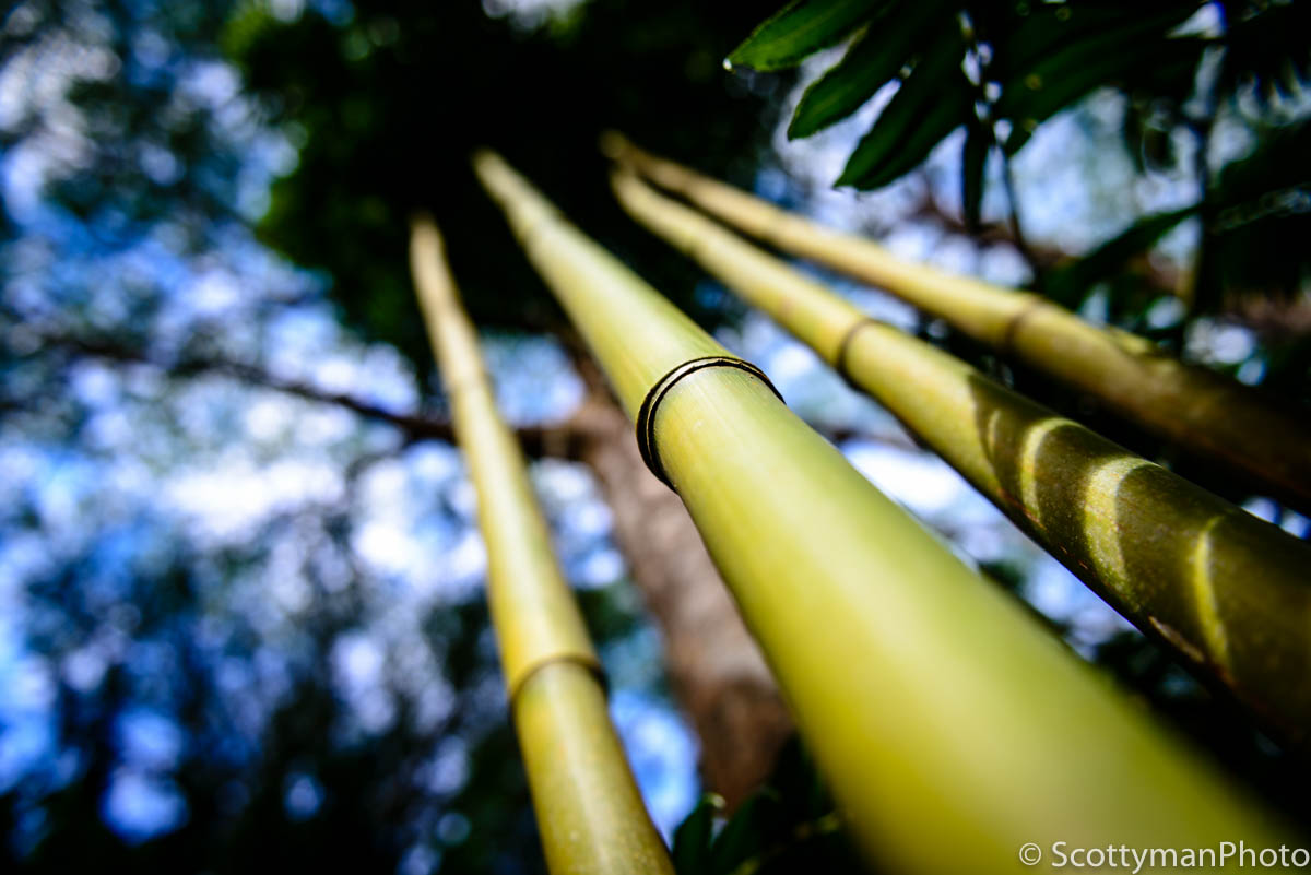An image of bamboo captured in Oahu Hawaii. I really wanted to lure the viewer into the photo using a shallow depth of field using a depth of field calculator.